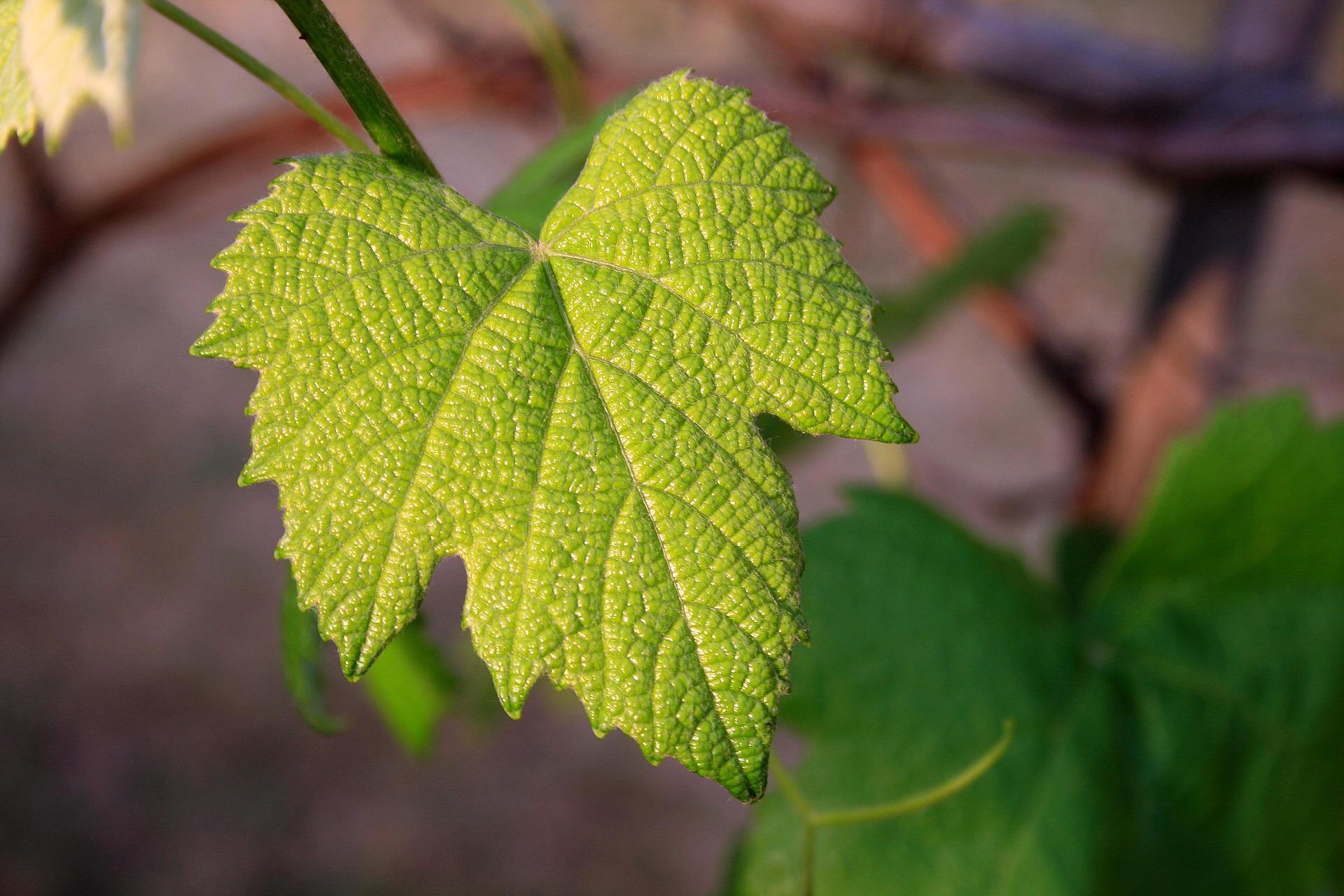 Vine leaf 657693 1920